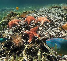 Panorama on a coral reef with fish and starfish by Dam - www.seaphotoart.com