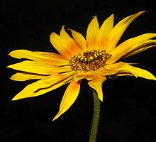 Sunflower by jsmusic