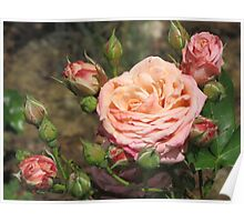 Pink Rose and Rosebuds Poster