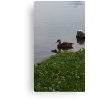 Lonely duck Canvas Print