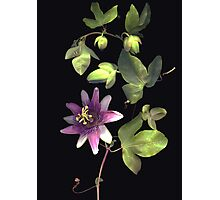 Passion Flower Vine Photographic Print