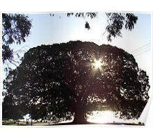 moreton bay fig tree Poster