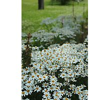 Daisies as Far as you can See Photographic Print