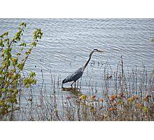 Blue Heron Photographic Print