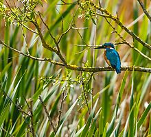 Kingfisher by Dave  Knowles