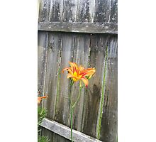Tiger lilly fly Photographic Print