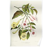 Familiar Flowers of India With Colored Plates, Lena Lowis 0049 Tecoma Jasminoides Velutina Poster