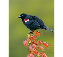 Redwing Blackbird Photographic Print