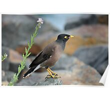Indian Myna Bird Poster