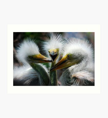 Baby Great White Egrets Art Print