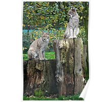 Lynx - Howletts Zoo Poster