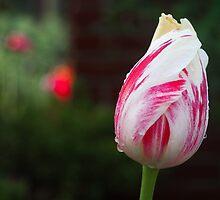 Tulipa by Farras Abdelnour