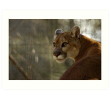 Cougar Focused Art Print