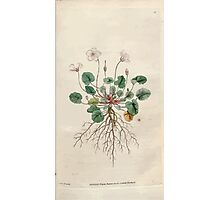 The Botanical magazine, or, Flower garden displayed by William Curtis V1 V2 1787 1789 0042 Geranium Reichardi, Dwarf Geranium Photographic Print