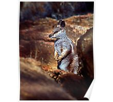 Rock Wallaby - Alice Springs Poster