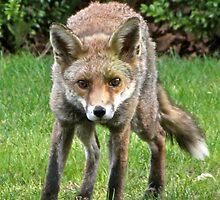 Foxy by John Thurgood