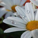 Daisy Daisy !!! by AnnDixon