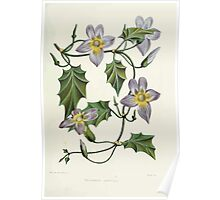 Familiar Flowers of India With Colored Plates, Lena Lowis 0077 Thunbergia Laurifolia Poster