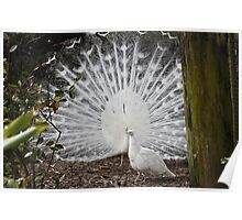 White Peacocks Poster