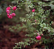roses by Rachael DuMoulin