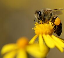 Yellow Taste So Good! Bee on bright yellow wild flower - Free State, South Africa by Qnita