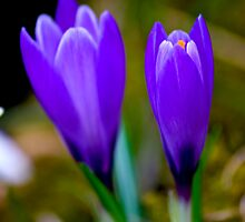 Purple Opening (Spring April) by Trevor Kersley