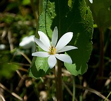 Bloodroot by Mike Oxley