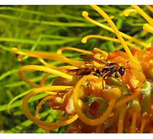 Wasp on Grevillia Photographic Print