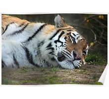 Drowsy Tiger - Howletts Zoo Poster