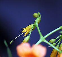 Droplets on a bud. by debjyotinayak