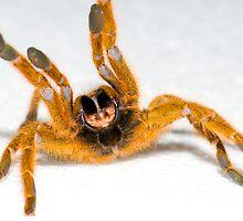 Babboon Tarantula by MidnightRocker