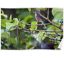 Green Heron on the Hunt - Graeme Hall Nature Sanctuary, Barbados Poster