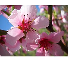 Blooms and Blossoms.Peach. Photographic Print