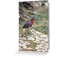 Green Heron on the Hunt 2 - Graeme Hall Nature Sanctuary, Barbados  Greeting Card