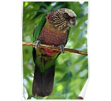 Hawk Headed Parrot 4 - Graeme Hall Nature Sanctuary, Barbados Poster