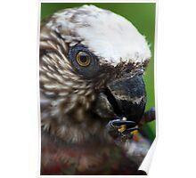 Hawk Headed Parrot 5 - Graeme Hall Nature Sanctuary, Barbados  Poster