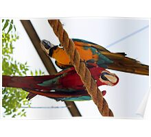 Red and Blue Macaws 2 - Graeme Hall Nature Sanctuary, Barbados  Poster