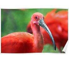 Scarlet Ibis - Graeme Hall Nature Sanctuary, Barbados Poster