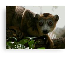 lounging in the canopy Canvas Print