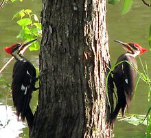 Pileated Woodpeckers  by DottieDees