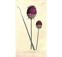 The Botanical magazine, or, Flower garden displayed by William Curtis V7 V8 1794 0072 Alium Descendes, Purple Headed Garlic Photographic Print