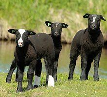 Ba Ba Black Sheep by Robert Abraham