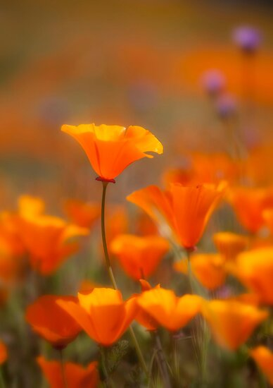 California poppies by bettywiley