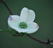Flowering Dogwood by John Mullins