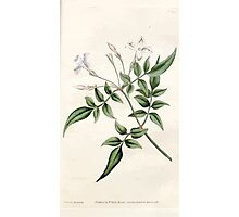 The Botanical magazine, or, Flower garden displayed by William Curtis V1 V2 1787 1789 0070 Jasminum Officinale, Common Jasmine or Jessamine Photographic Print