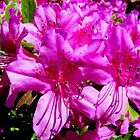 Pink Azaleas by barnsis
