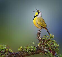 Bokmakierie bird - Telophorus zeylonus by johanswanepoel
