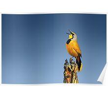 Bokmakierie bird calling Poster