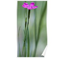 Native Deptford Pink Dianthus Poster