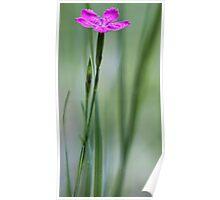 Native Deptford Pink Dianthus Poster
